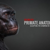 Primate Anatomy Part 2^Sculpting the Chimp