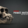 Primate Anatomy Part 1^Sculpting the Skull